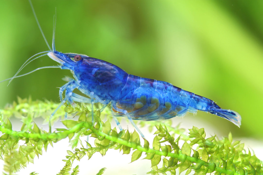 Garnele Aquarium